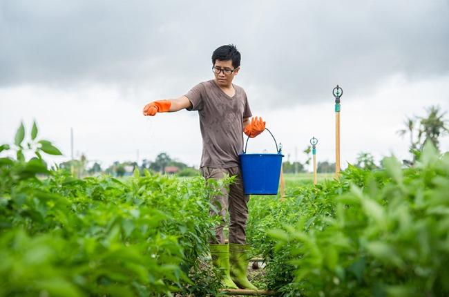 Farmer applying fertilizer to chili plants