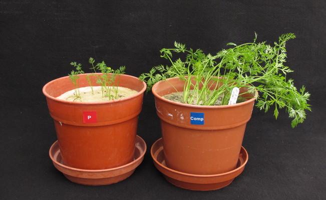 Fosforin puutos kuminalla
