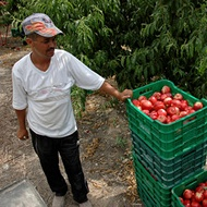 Producción mundial de frutos de hueso