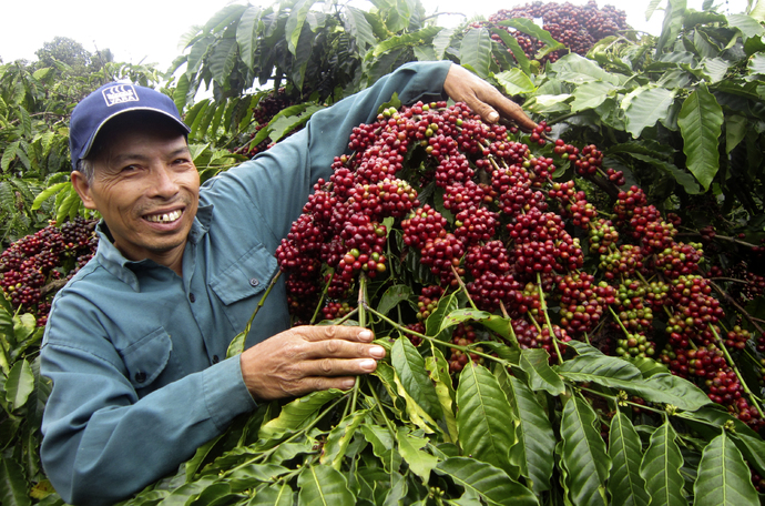 How to increase coffee yield