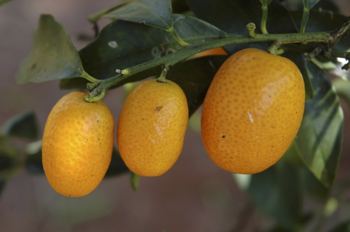 Kumquat / Limquat