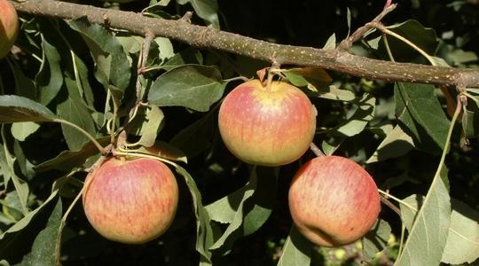 Increasing apple firmness