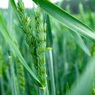 Wheat Crop Nutrition