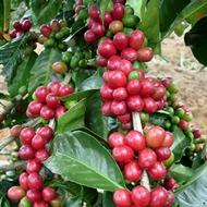 Minimizar Cercosporiosis (Cercospora coffeicola) en café