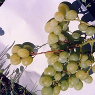 Preventing Bunch Stem Necrosis in Table Grapes