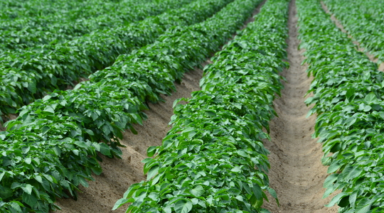 Potato agronomic principles