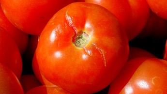 water management on tomato crop, cracking caused by excessive water