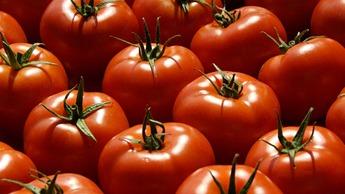 Tomato Crop Nutrition