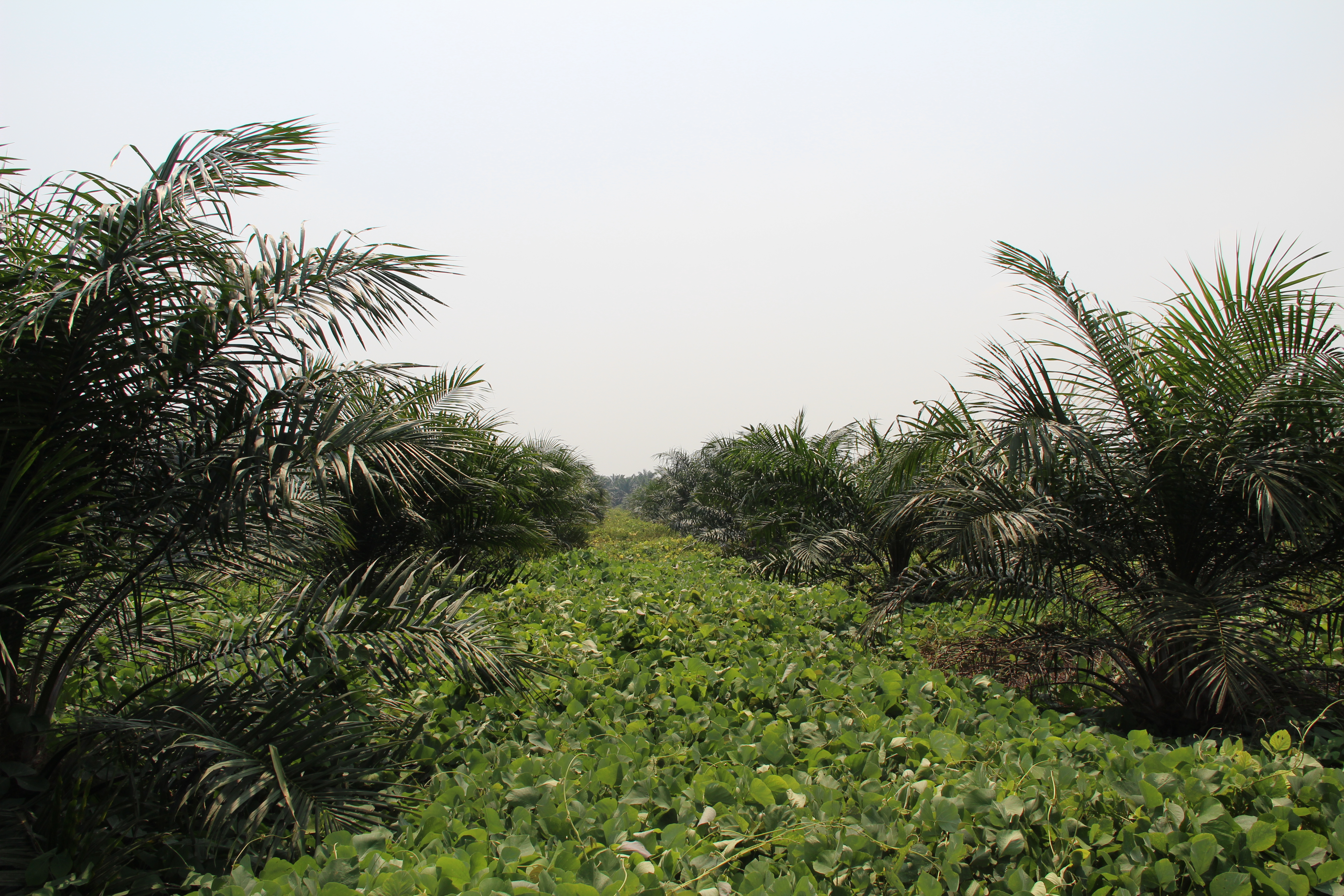 How to increase your Oil Palm yield - YaraMila