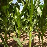Düngungskalender Mais
