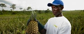 pineapple -  using Yara fertilizer