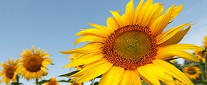 Sunflower in field Italy - using Yara fertilizer