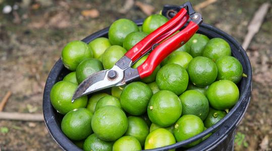 如何调控柑橘果实酸度