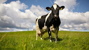 Nutri-Booster Cattle Image
