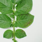 Fosforin puutos perunalla