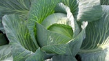 Improving Vegetable Brassica Compactness, Size, Weight and Colour