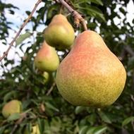 Increasing Pip Fruit Size