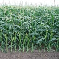 Mejorando la resistencia del maíz al encamado y las heladas