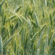 Barley image grid