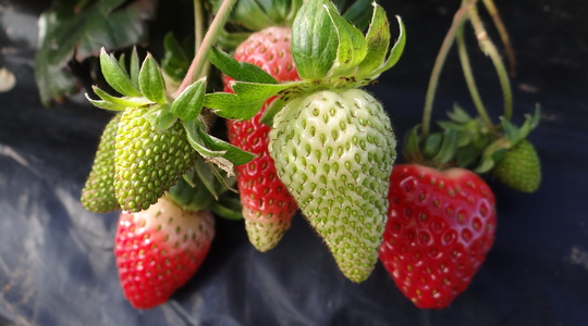 How to increase strawberry fruit numbers