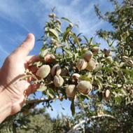 Almond Fertilizer Program