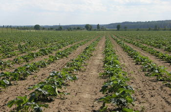 Matted rows are planted at a lower density