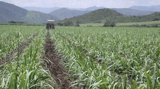 Reducing Sugarcane Fibre Content