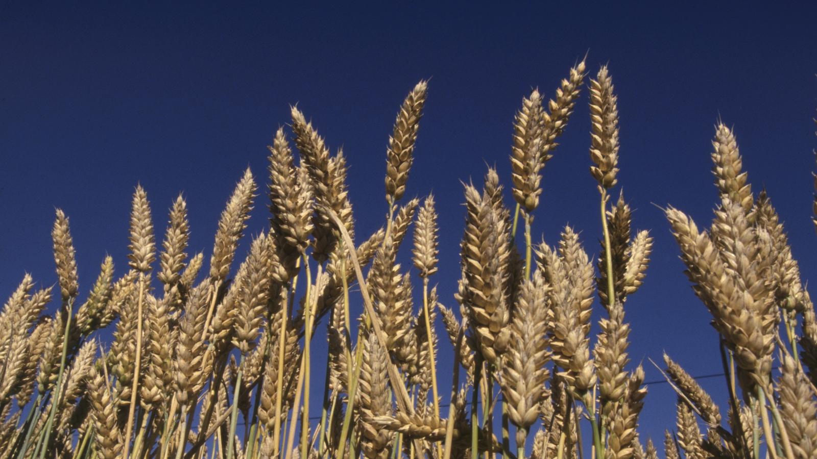 programme de nutrition pour le blé