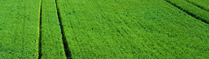 Green wheat field using Yara fertilizer