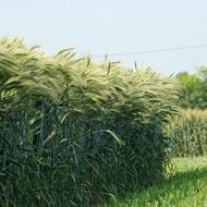 Increasing Barley Leaf and Shoot Numbers