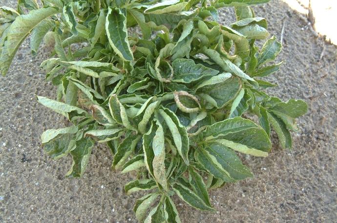 copper deficiency in potato