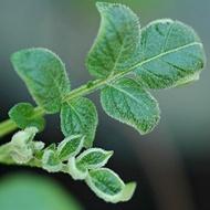 Reduzindo doenças foliares na batata
