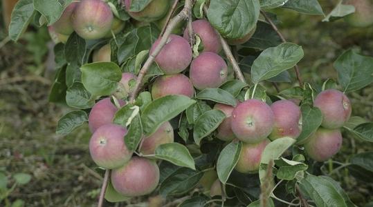 氮在苹果生产上的作用