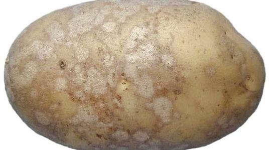 batata, fertilizante, yara