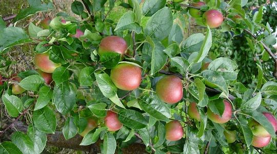 Aumento del numero di frutti delle pomacee