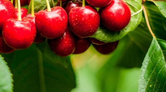 Aumento del numero dei frutti delle Drupacee