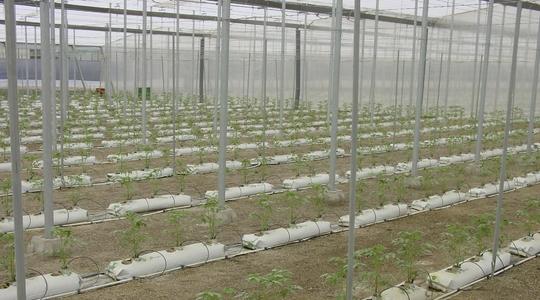 Cultivo en substrato tomate