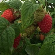 Raspberry Crop Nutrition Programme