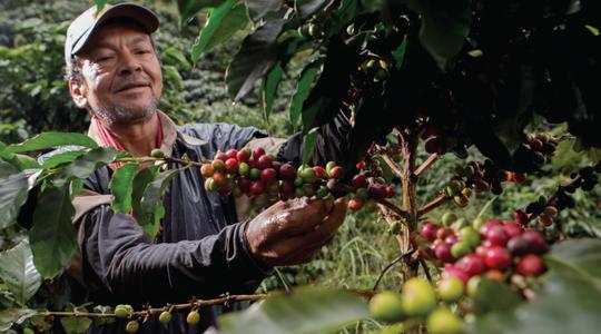 Requerimientos de las diferentes fases de desarrollo del Café