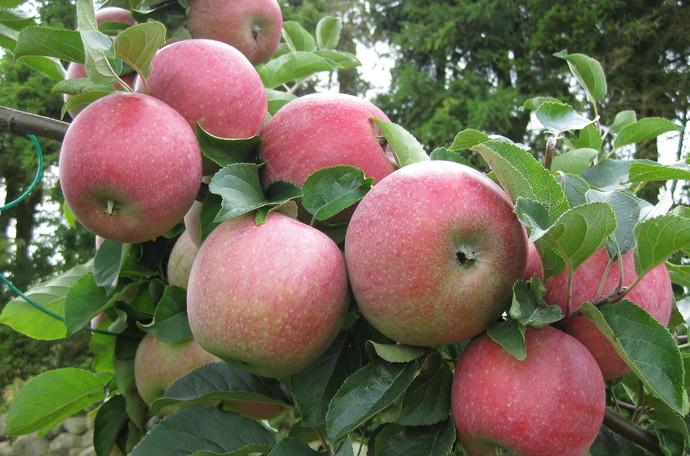 Plon owoców ziarnkowych