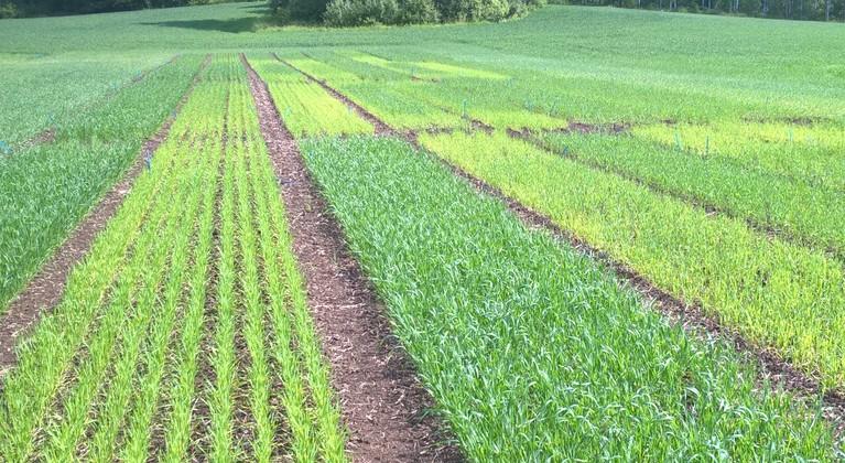 Fosfori vaikuttaa kasvin versoutumiseen ja tähkien määrään