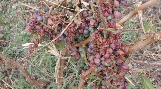 Daño por granizo de la uva