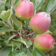 Reducing Water Core Occurrence in Pip Fruit