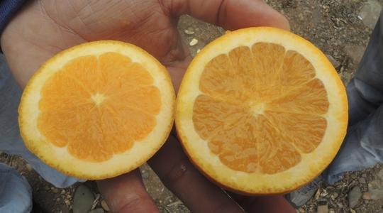 Increasing Citrus Fruit Size