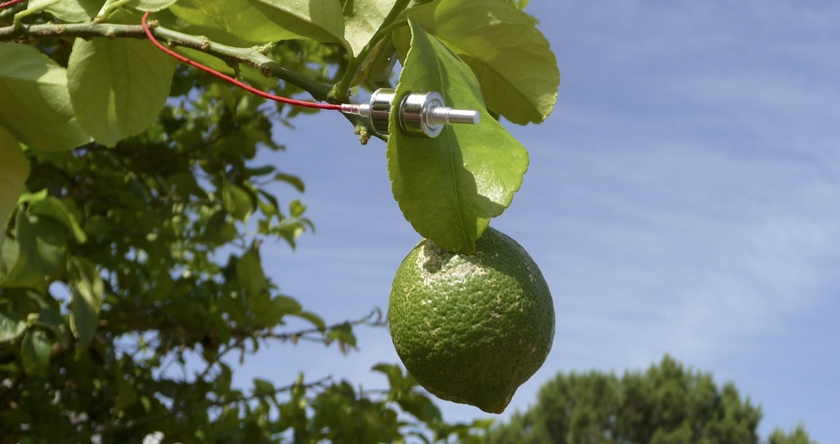 ZIM probe in citrus