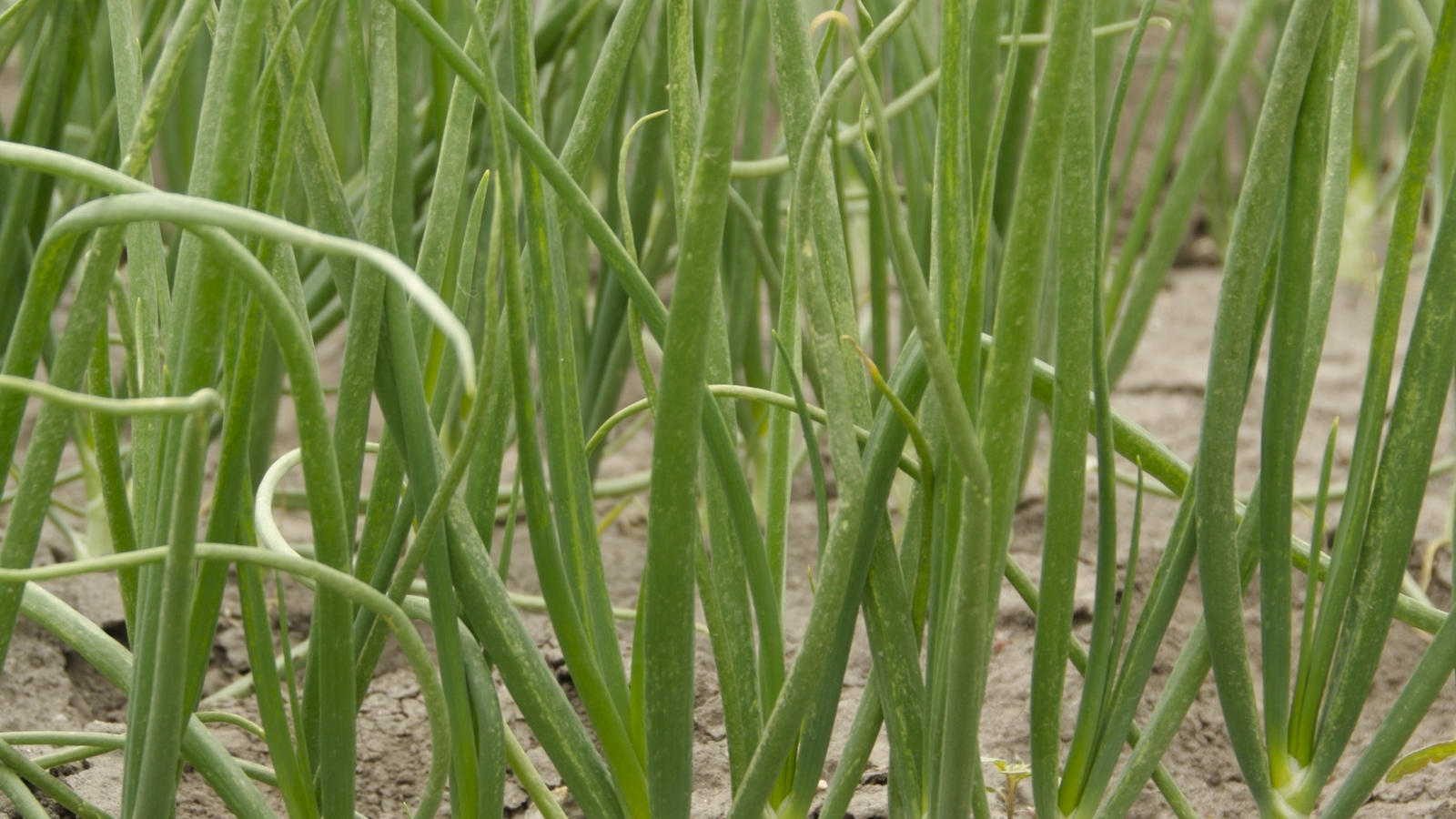 Onion crop nutrition programmes