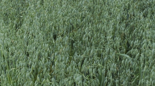 How to increase oat leaf and shoot numbers