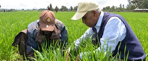 Tekalign Mamo Assefa working with a farmer in the field