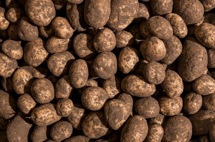 Forbedring af udbyttet i kartofler