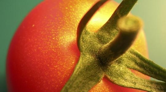 tomate mancha dorada